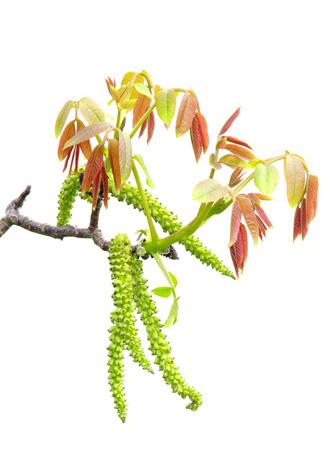 Fleur de Bach Walnut
